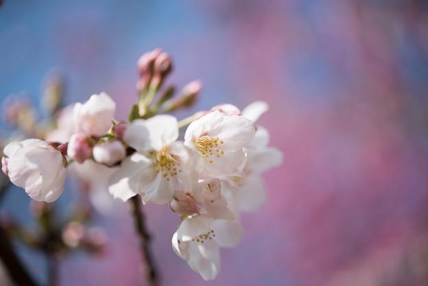 本牧山頂公園【桜:染井吉野】11