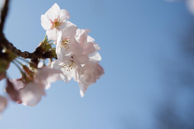 本牧山頂公園【桜:染井吉野】14