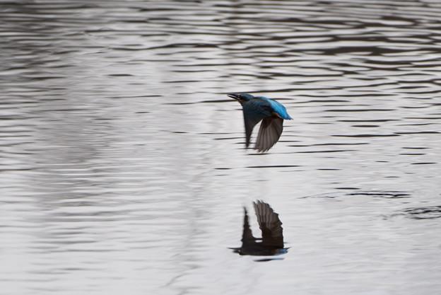 泉の森公園【野鳥:カワセミ】2-4