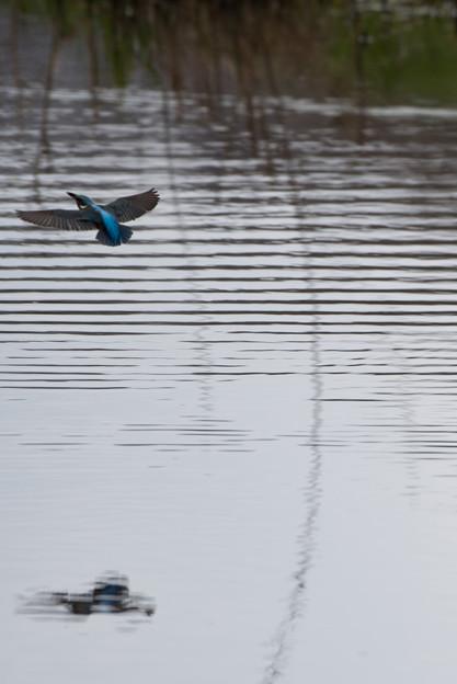 泉の森公園【野鳥:カワセミ】2-6