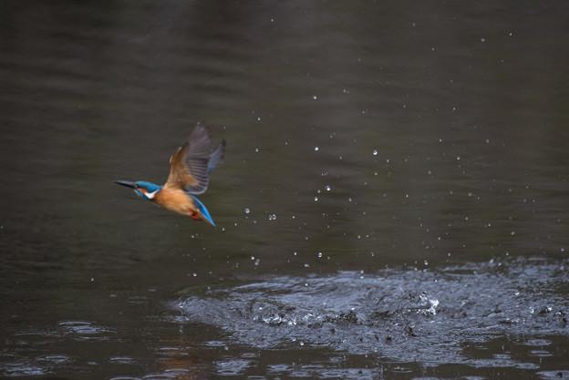 泉の森公園【野鳥:カワセミ】4-2