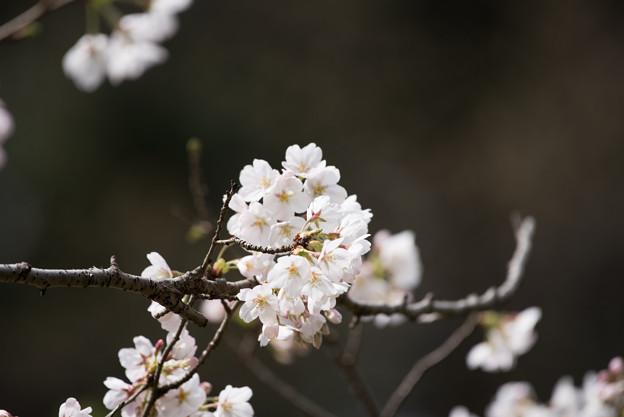 泉の森公園【桜:染井吉野】1