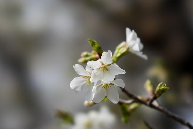 テリタビーズ公園【大島桜】5