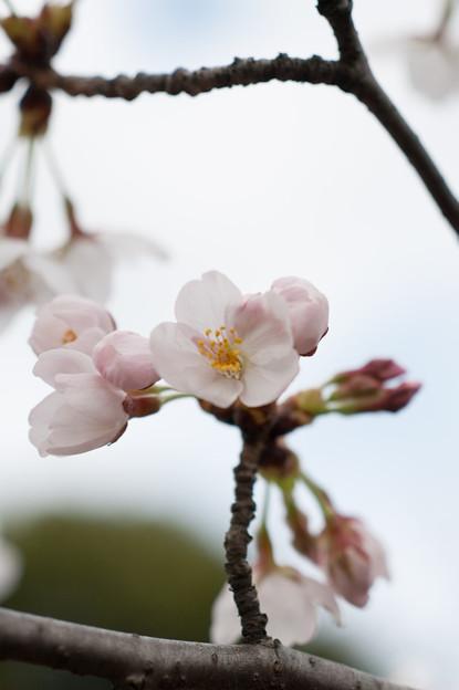 テリタビーズ公園【染井吉野】7