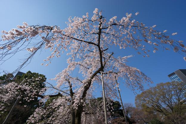 小石川後楽園【枝垂桜:馬場桜】2