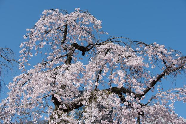 小石川後楽園【枝垂桜:馬場桜】3