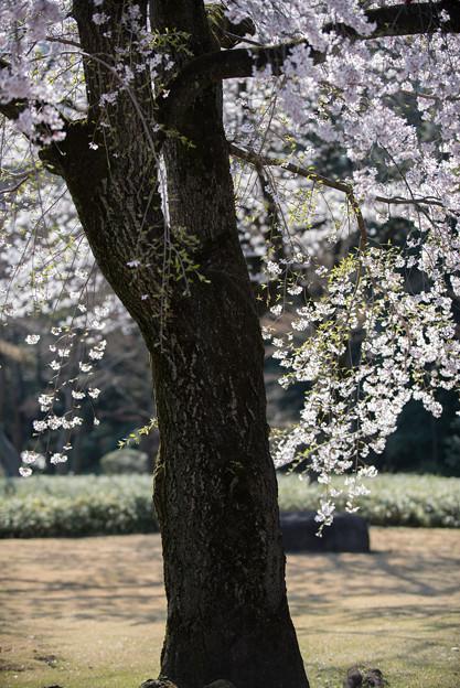 小石川後楽園【枝垂桜:馬場桜】5