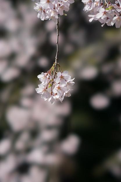 小石川後楽園【枝垂桜:小廬山脇】7