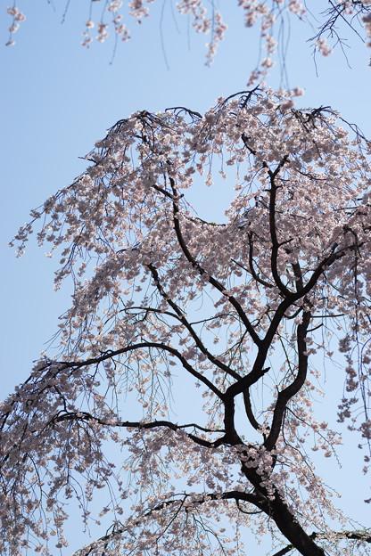 小石川後楽園【枝垂桜:大堰川沿い】4