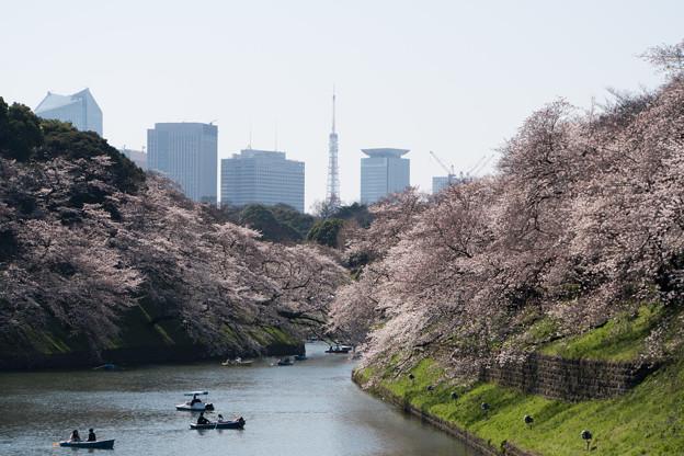 【千鳥ヶ淵の桜】1