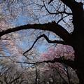 Photos: 新宿御苑【桜園地の桜の様子】4