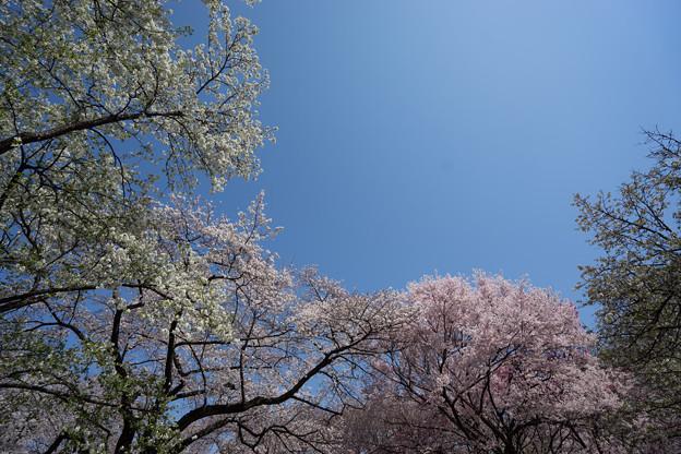 新宿御苑【桜園地の桜の様子】5