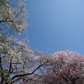 Photos: 新宿御苑【桜園地の桜の様子】5