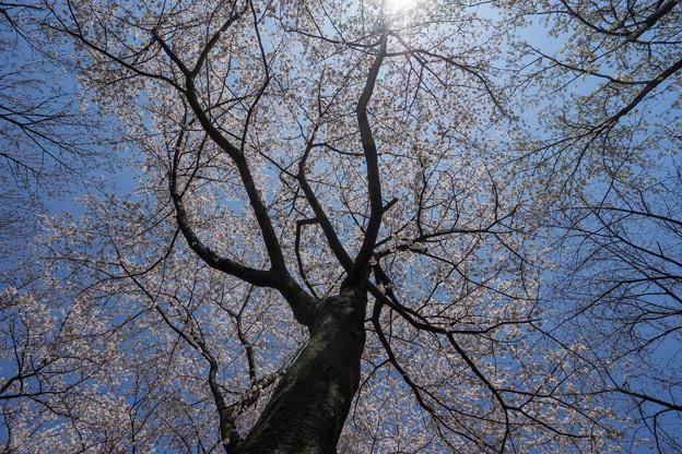 新宿御苑【桜園地の桜の様子】6