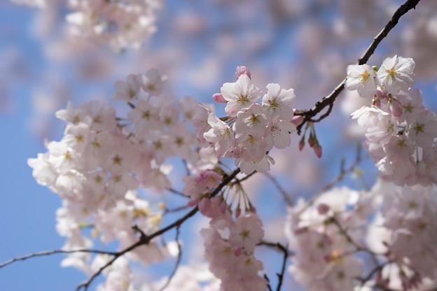 新宿御苑【桜:アメリカ】3