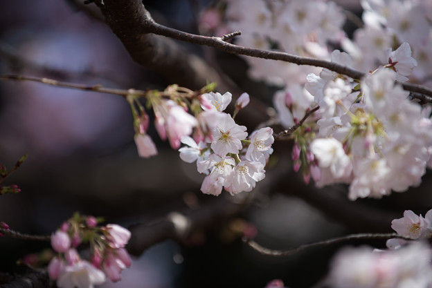 Photos: 新宿御苑【桜:アメリカ】6