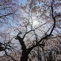 Photos: 新宿御苑【桜:枝垂れ桜】2
