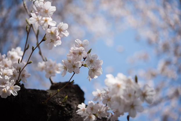 新宿御苑【桜:染井吉野】1