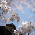 Photos: 新宿御苑【桜:染井吉野】1