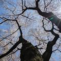 Photos: 新宿御苑【桜:染井吉野】2