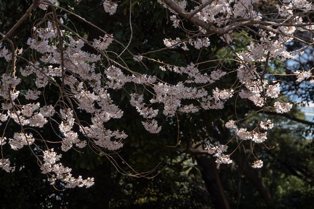 新宿御苑【桜:江戸彼岸】3