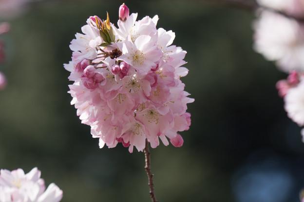 新宿御苑【桜:十月桜】6