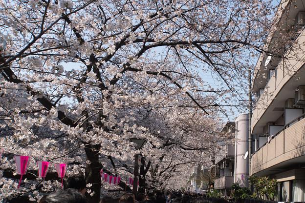 【目黒川の桜並木】1