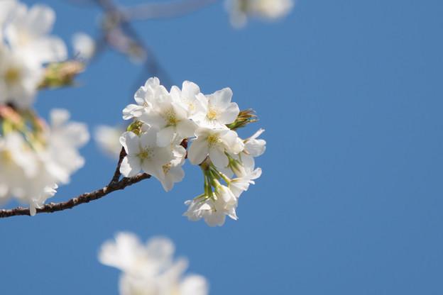 【テリタビーズ公園の大島桜】1