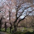 Photos: 【三輪の里の枝垂れ桜】3