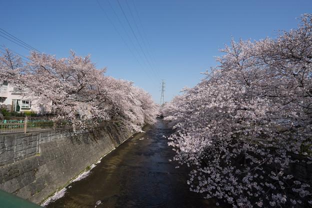 【恩田川の桜】1-3