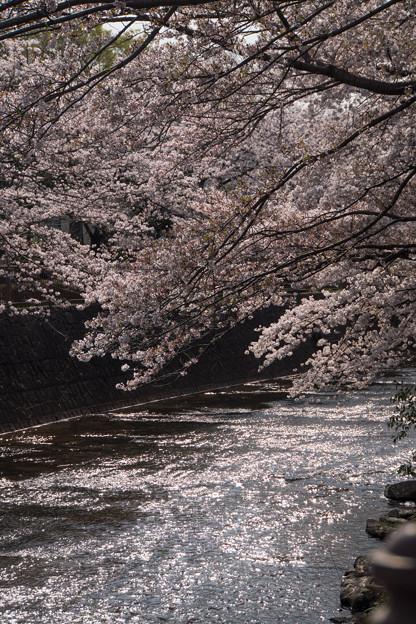 【恩田川の桜】2-2