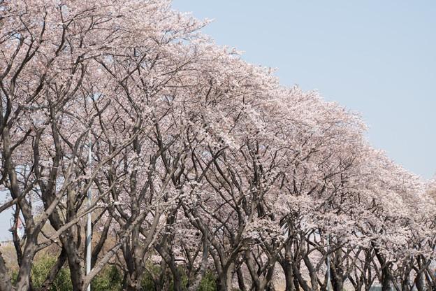 【海軍道路の桜並木】1-5