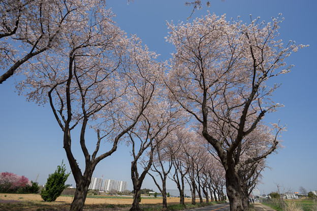 【海軍道路の桜並木】2-4
