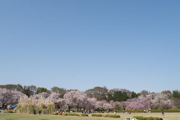 神代植物公園【さくら園の眺め】2