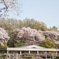 Photos: 神代植物公園【さくら園の眺め】7