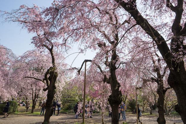 神代植物公園【サクラ:八重紅枝垂桜】1