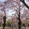 Photos: 神代植物公園【サクラ:八重紅枝垂桜】1