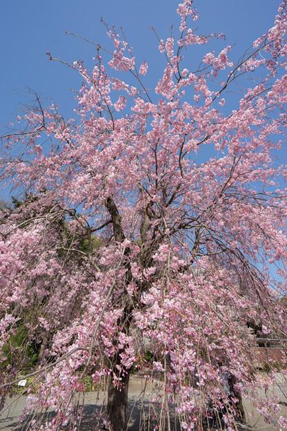 神代植物公園【サクラ:八重紅枝垂桜】2