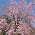 Photos: 神代植物公園【サクラ:八重紅枝垂桜】2