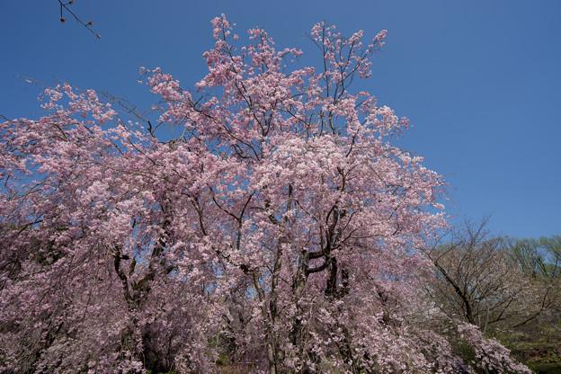 神代植物公園【サクラ:八重紅枝垂桜】4