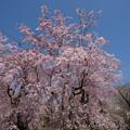 Photos: 神代植物公園【サクラ:八重紅枝垂桜】4