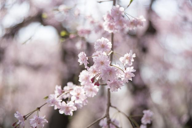 神代植物公園【サクラ:八重紅枝垂桜】8