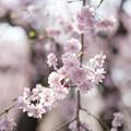Photos: 神代植物公園【サクラ:八重紅枝垂桜】8