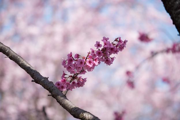 神代植物公園【サクラ:横浜緋桜】1