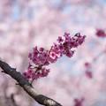 Photos: 神代植物公園【サクラ:横浜緋桜】1