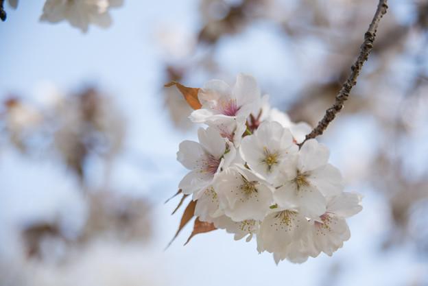 神代植物公園【サクラ:嵐山】