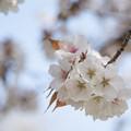 Photos: 神代植物公園【サクラ:嵐山】