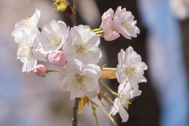 神代植物公園【サクラ:佐野桜】