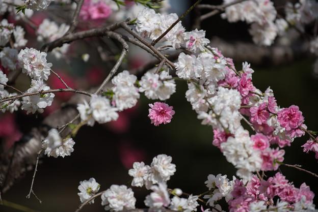 神代植物公園【ハナモモ:源平枝垂】3
