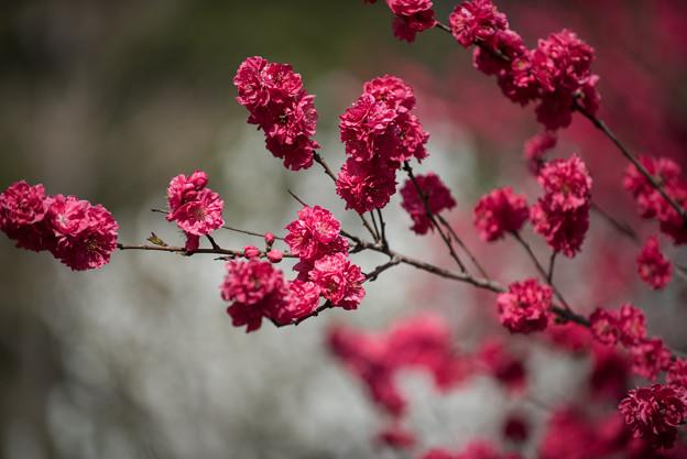 神代植物公園【ハナモモ:黒皮】2